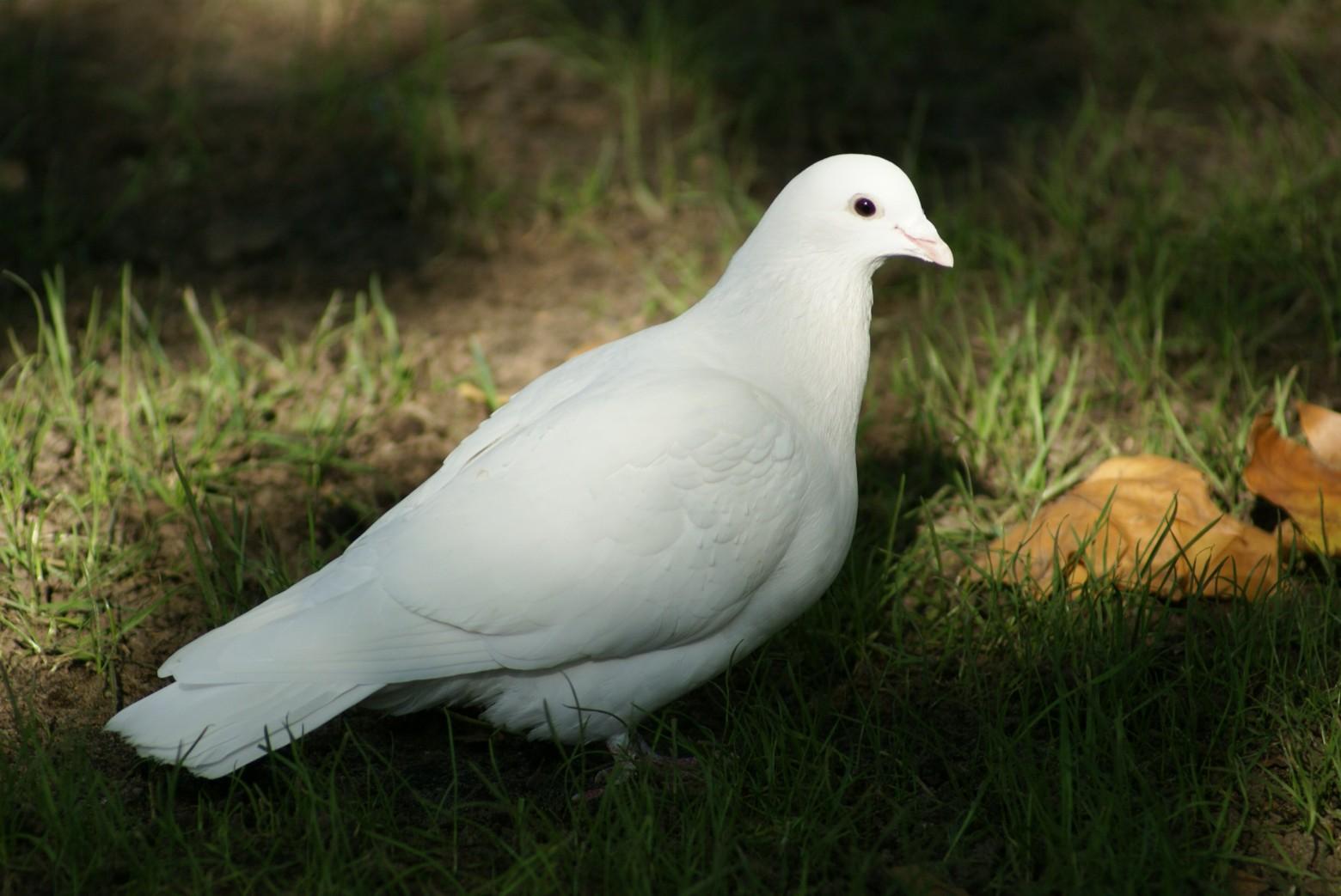 Photo De Colombe Oiseau