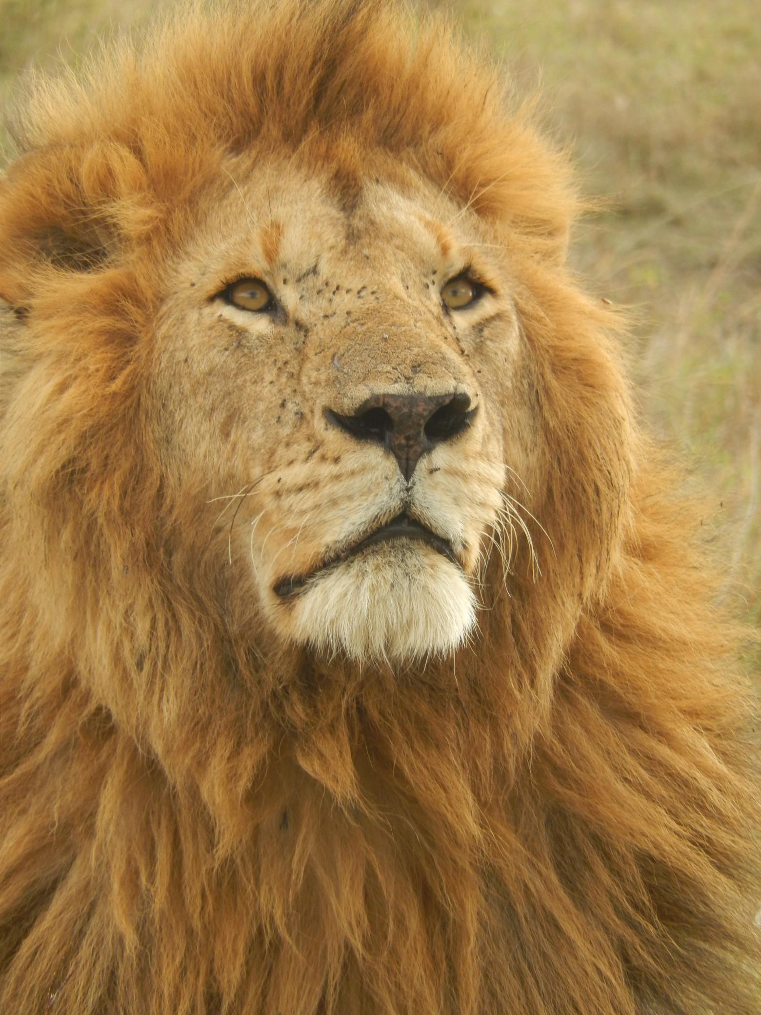 Le lion photo gratuite images gratuites et libres de droits - Photos de lions gratuites ...