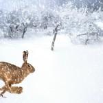 lièvre qui court sous la neige