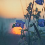 coucher de soleil fleurs nature flore images gratuites