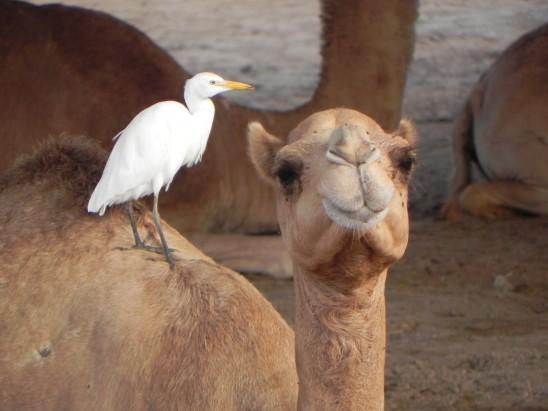 chameau et oiseau blanc sur le dos