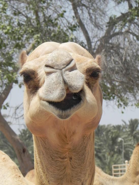 chameau portrait
