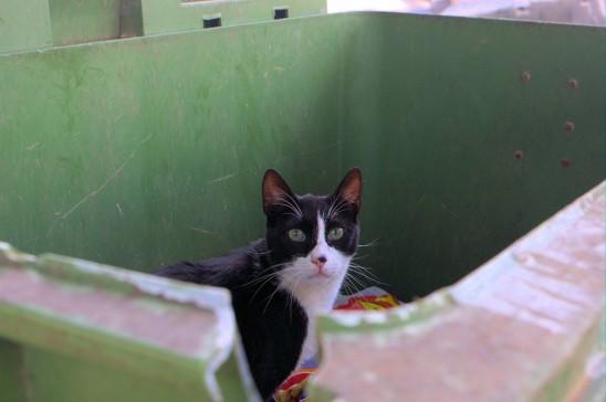 chat sauvage dans une benne à ordure