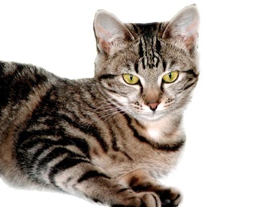 chat tigré sur fond blanc