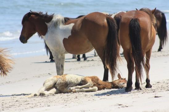 cheval poulain poney plage
