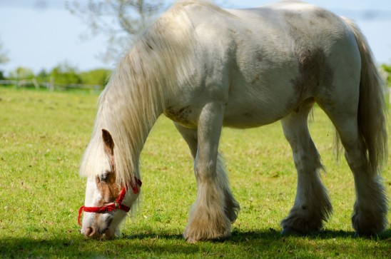cheval qui broute de l' herbe dans un pâturage vert