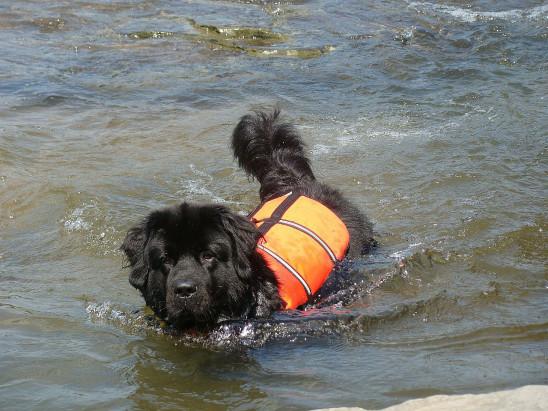 chien noir dans l' eau