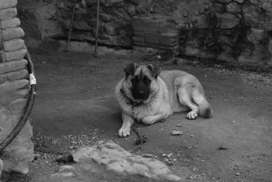 chien triste attaché