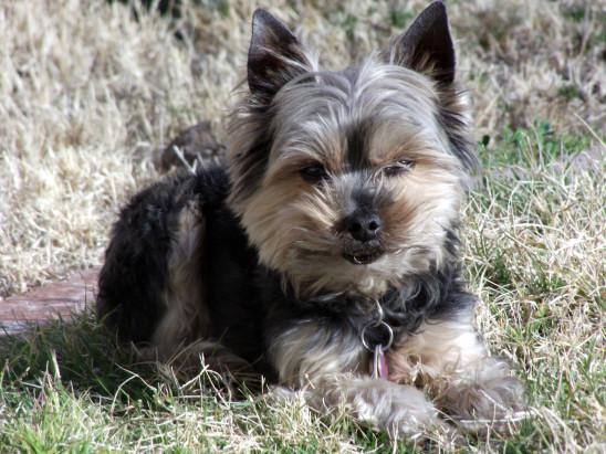 chien yorkshire portrait
