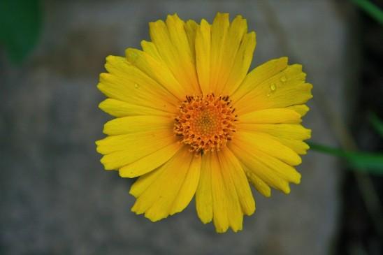fleur jolie marguerite jaune