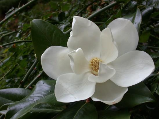 fleur magnolia blanche