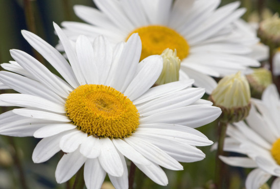 fleur marguerite