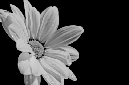 fleur marguerite photo noir et blanc