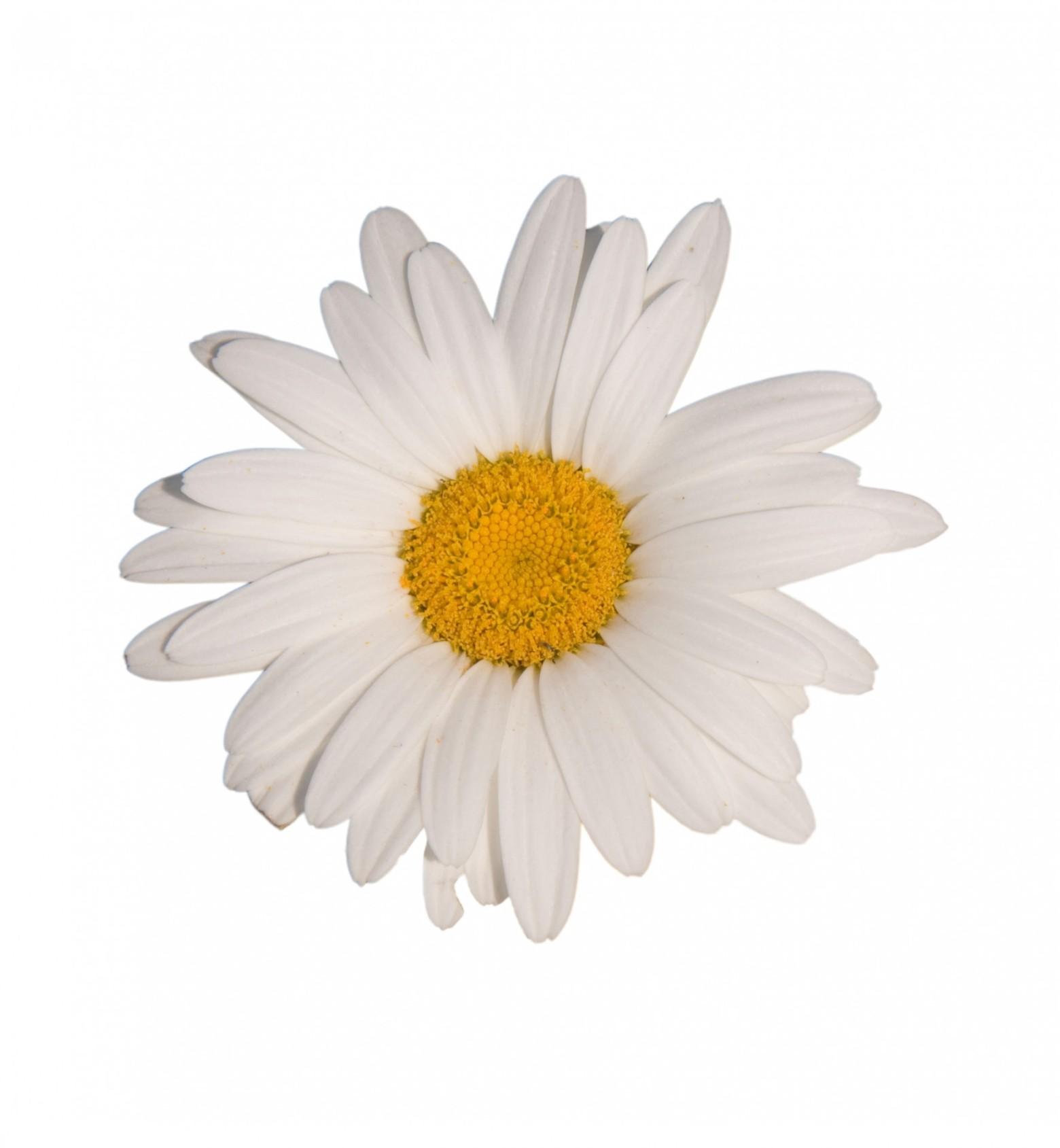Fleurs fond blanc - Image fleur marguerite ...