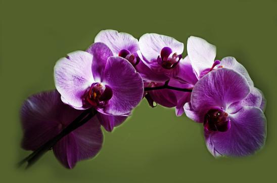fleur orchidée violette
