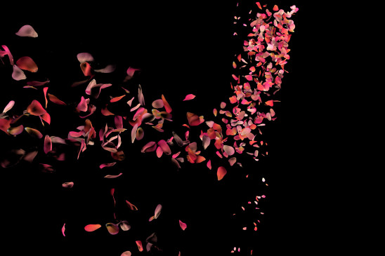 fleur pétale de rose sur fond noir
