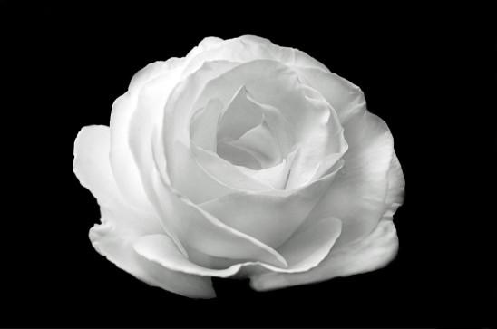 fleur rose blanche sur fond noir