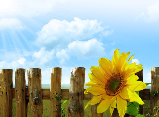 fleur tournesol ciel bleu
