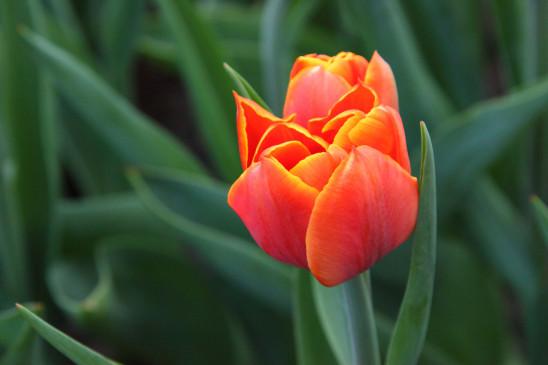 fleur tulipe