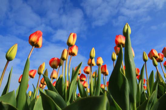 fleurs tulipes sous un ciel bleu