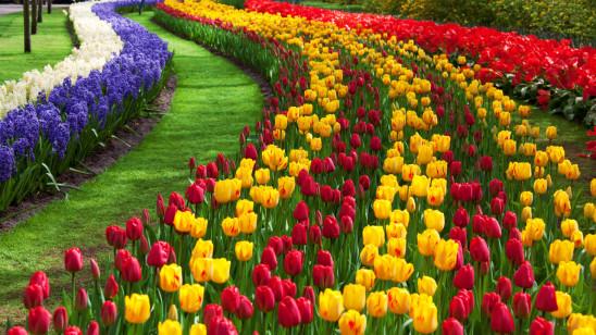 jardin de fleur tulipe