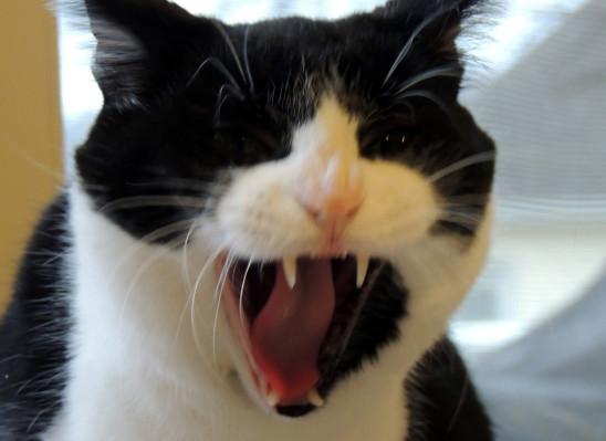 le chat qui baille