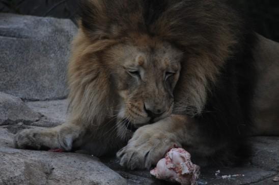 lion prédateur zoo jungle