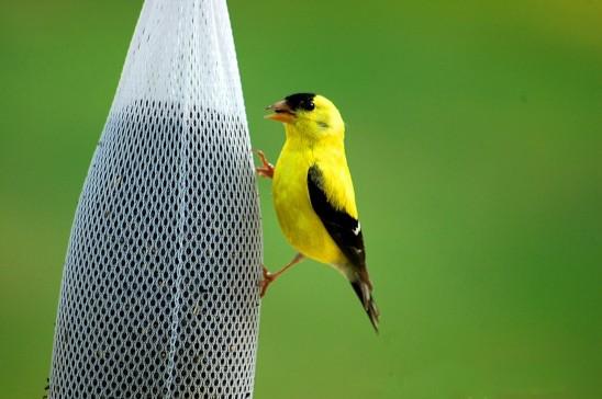 oiseau jaune chardonneret