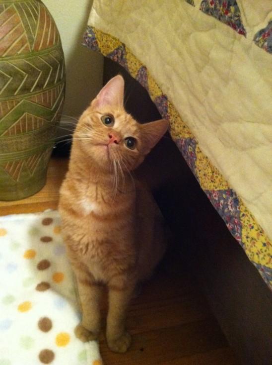 petit chat qui hoche la tête