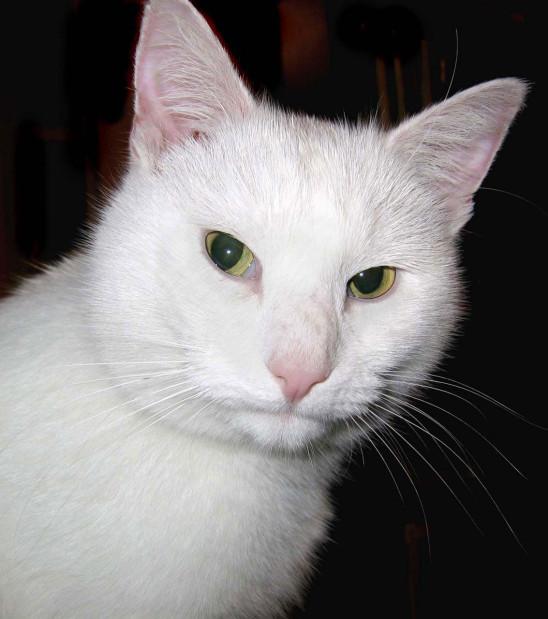 portrait chat blanc