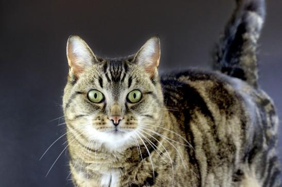 portrait chat tigré sur fond gris