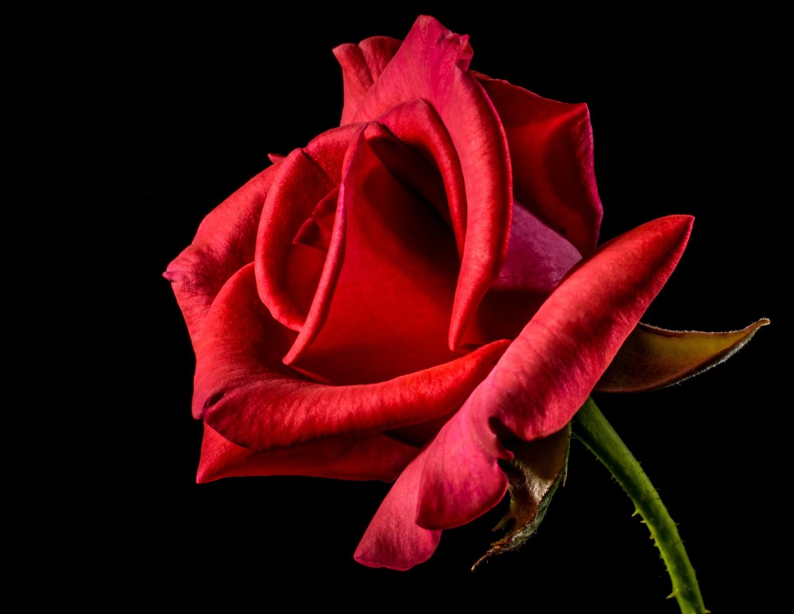 fleurs rose rouge isolé sur fond noir images photos hd gratuites