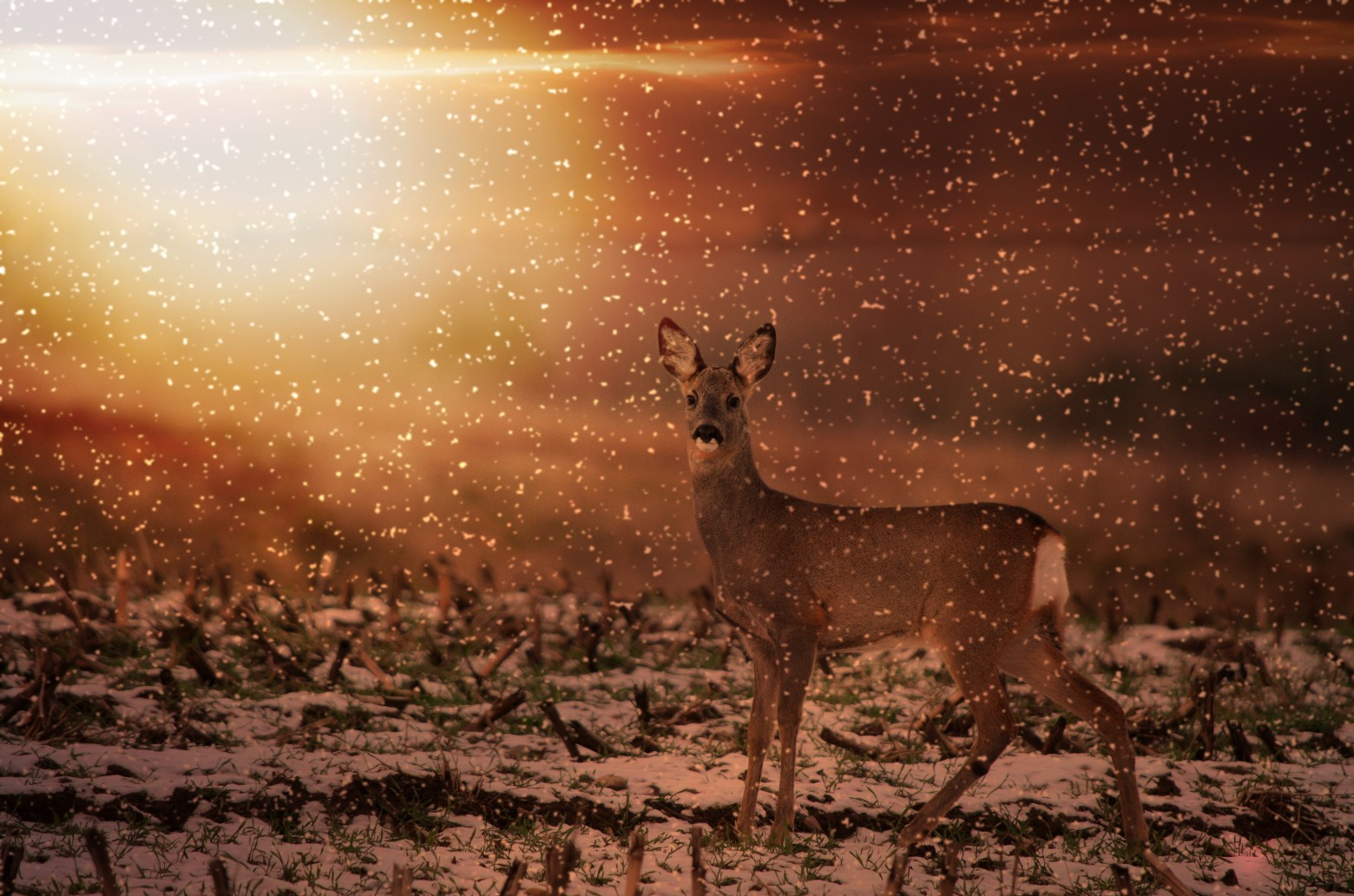 Chevreuil la faune neige hiver images photos gratuites - Photos de neige gratuites ...