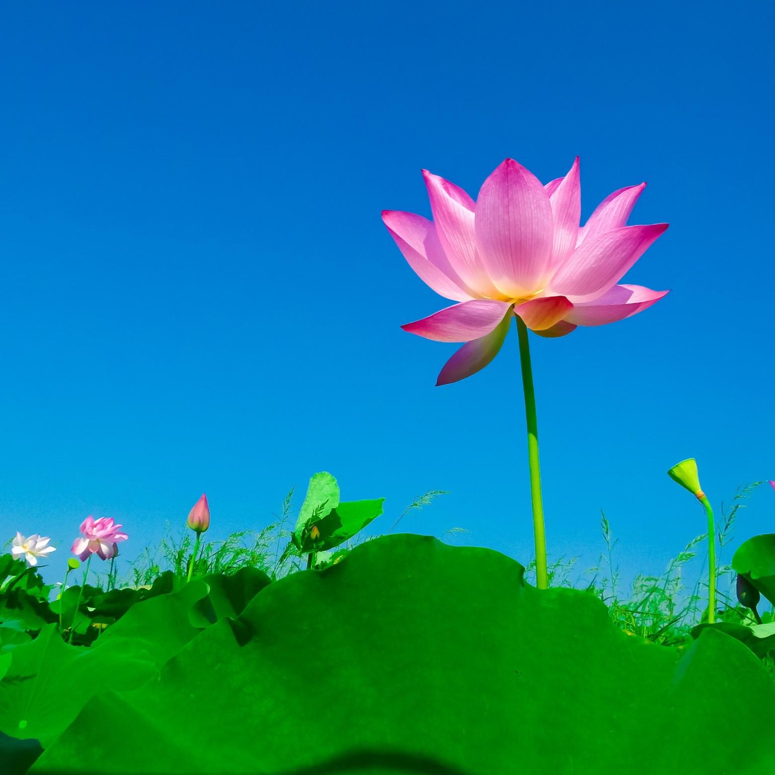 fleur de lotus images photos gratuites libres de droits images gratuites et libres de droits. Black Bedroom Furniture Sets. Home Design Ideas