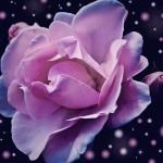 fleur rose bokeh abstrait lumineux images photos gratuites libres de droits1