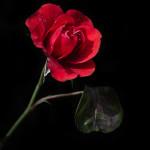 fleur rose rouge romantic romantique images photos gratuites1