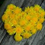 fleurs jaunes pissenlits formant un coeur images photos gratuites