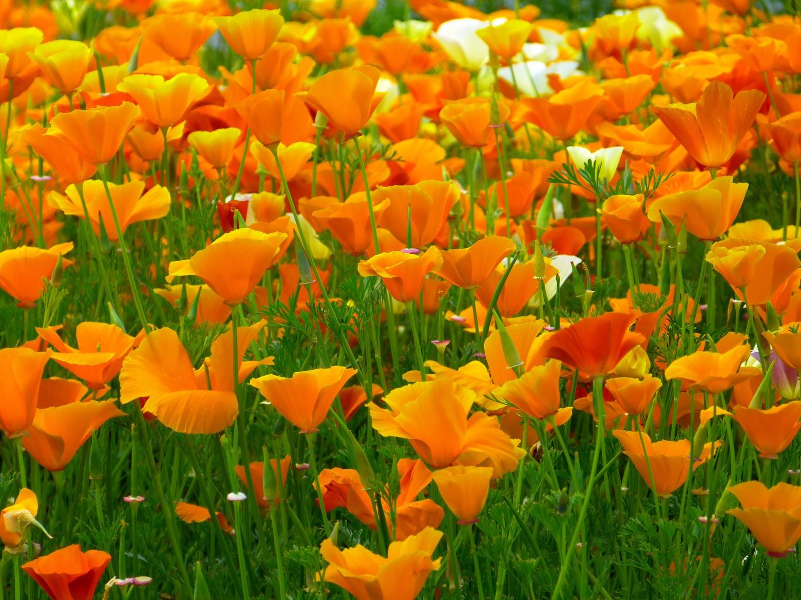fleurs pavot orange nature flore images photos gratuites libres de droits images gratuites et. Black Bedroom Furniture Sets. Home Design Ideas