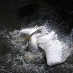 oiseau pellican eau faune images photos gratuites