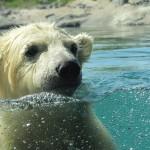 petit ours polaire ourson blanc dans l' eau images photos gratuites