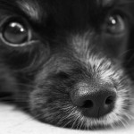 portrait petit chien noir et blanc images photos gratuites