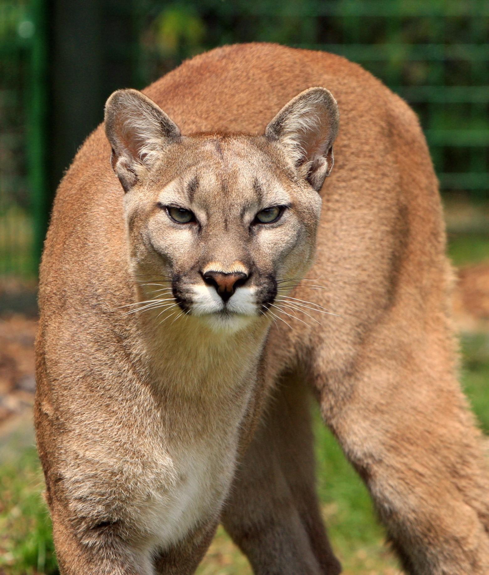 Le couguar puma lion des montagnes images photos gratuites - Photos de lions gratuites ...