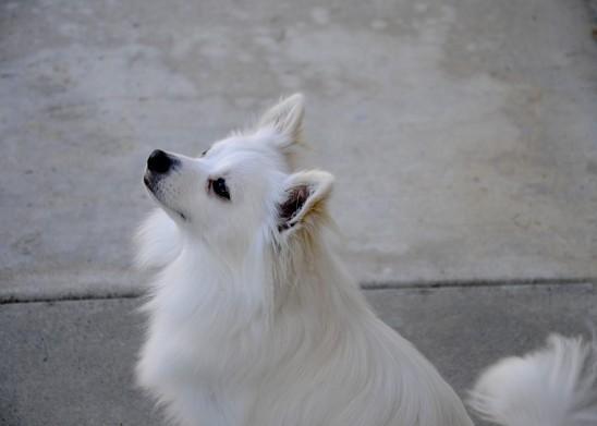 chien blanc pomeranian poméranie images photos gratuites