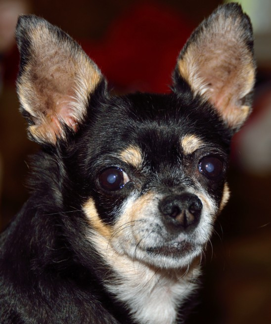 chihuahua-dog chien chihuahua images free pictures