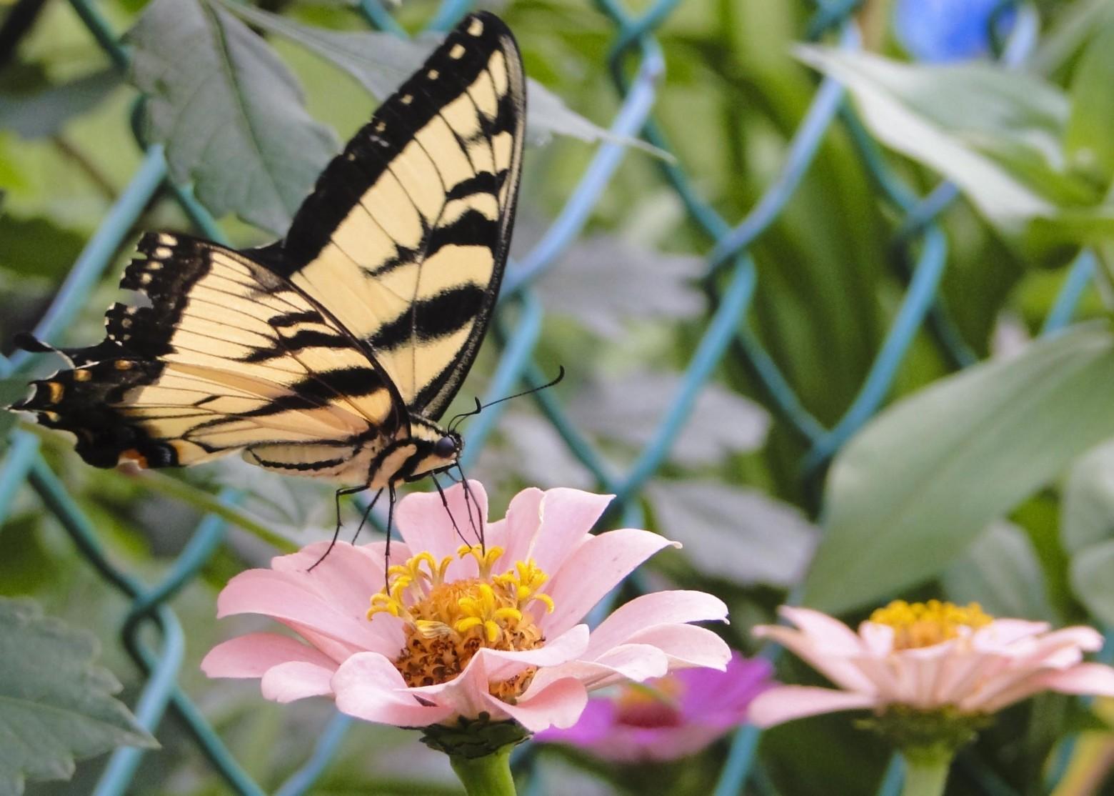 papillon sur une fleur photo gratuite images gratuites et libres de droits. Black Bedroom Furniture Sets. Home Design Ideas