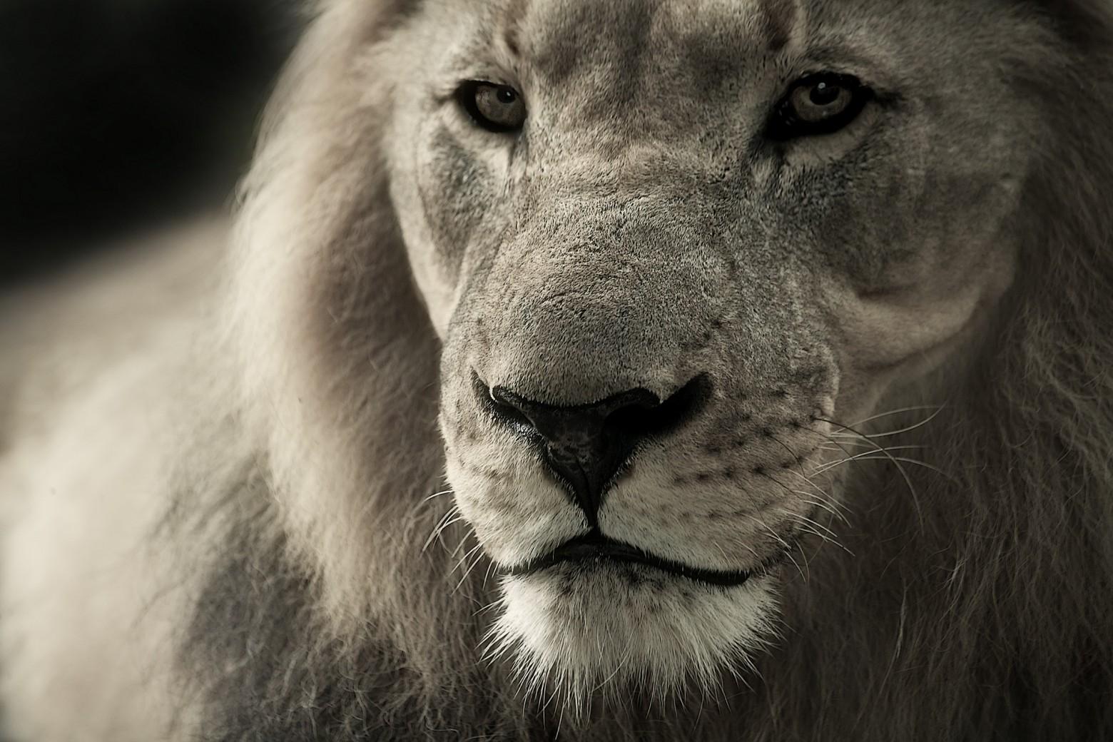 Le lion photo gratuite libre de droit images gratuites - Photos de lions gratuites ...