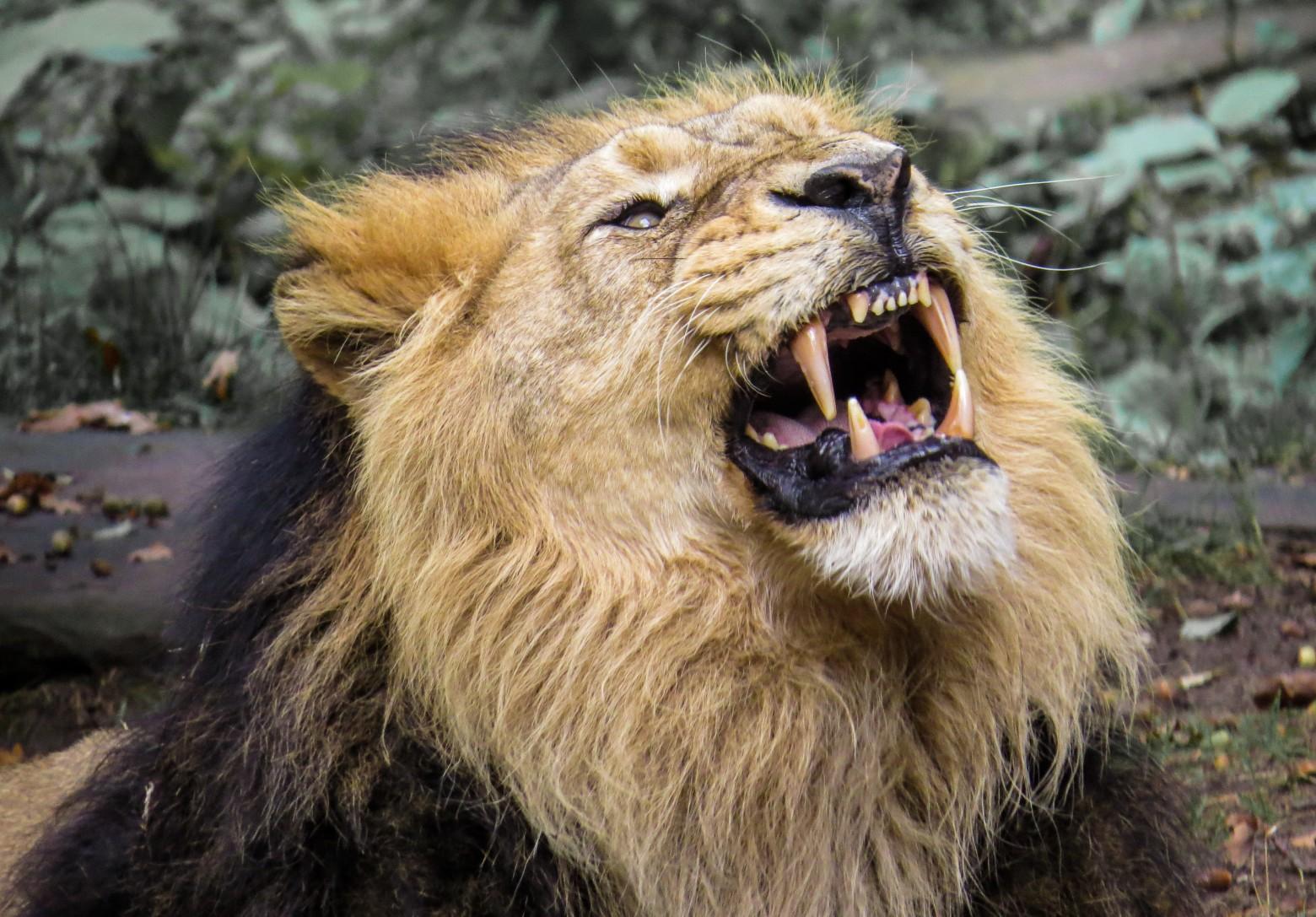 Images lion rugissant photos gratuites images gratuites - Photos de lions gratuites ...