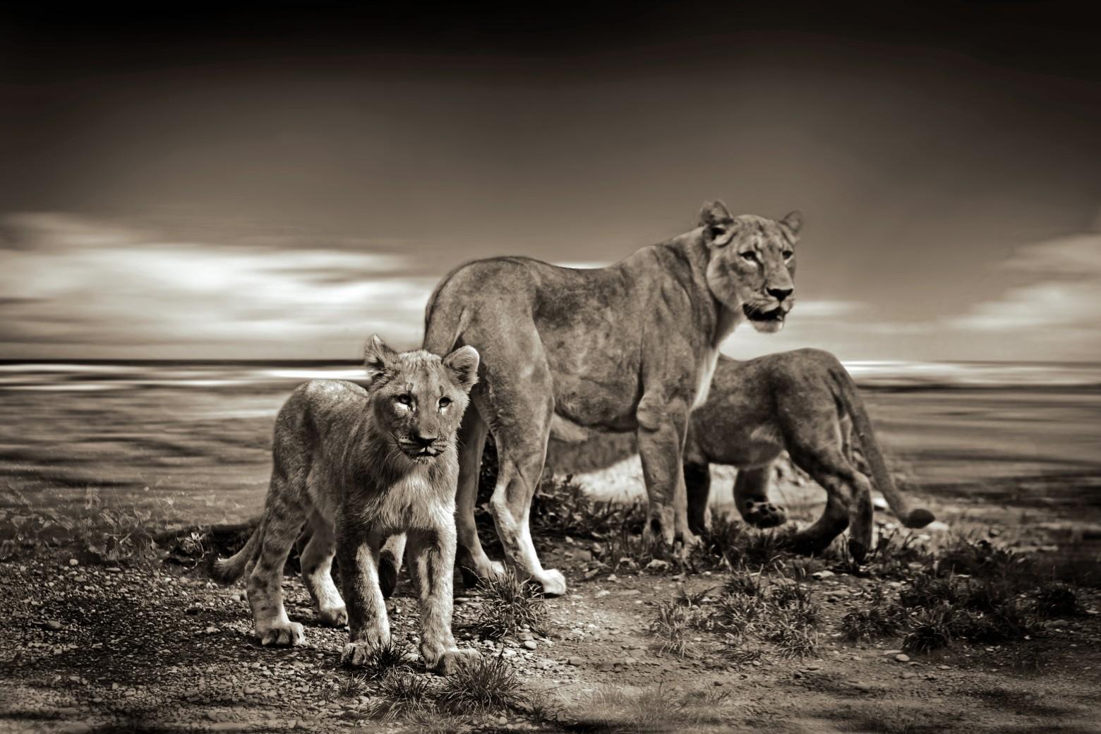 Lion savane afrique photos gratuites images gratuites et - Photos de lions gratuites ...