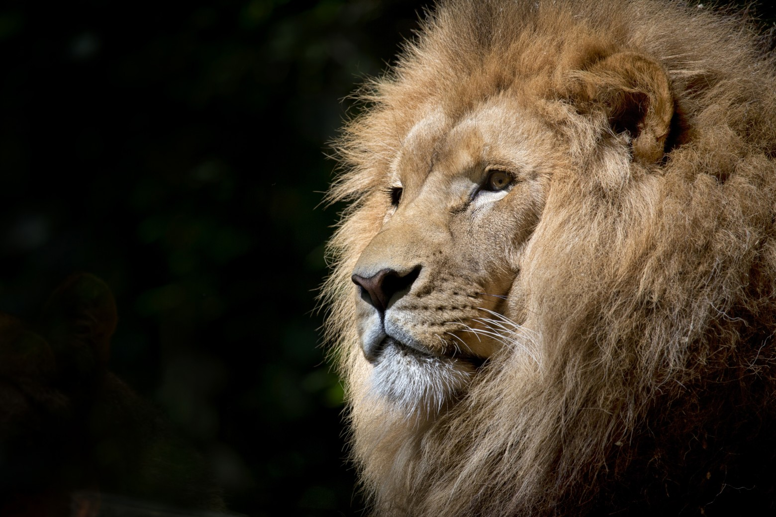 Le Lion Image Gratuite Libre De Droit Images Gratuites Et