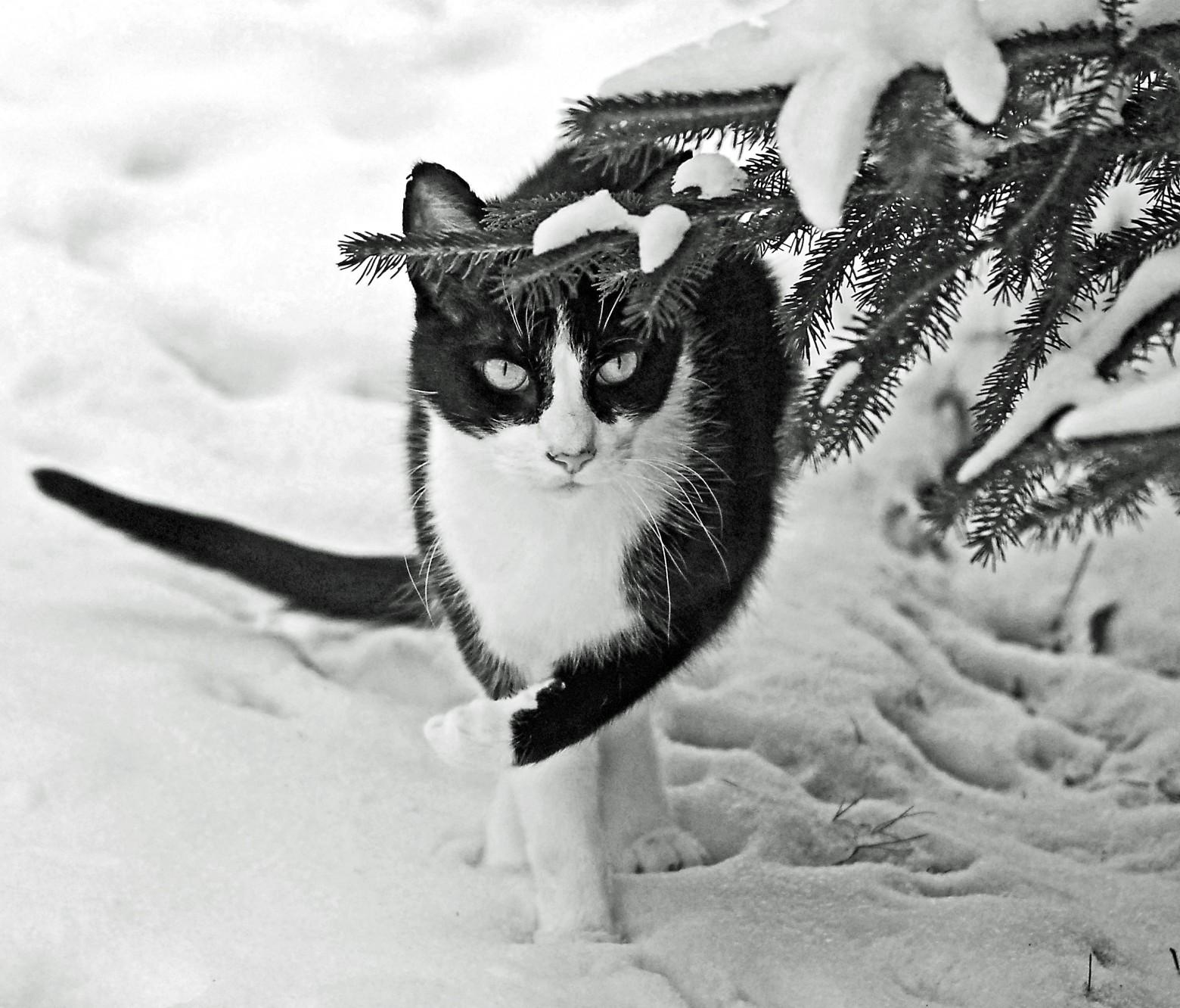 Chat hiver neige photos gratuites images gratuites et - Photos de neige gratuites ...